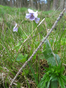 Viola palustris