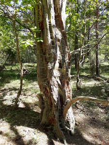 Ancient tree full of spider webs Öland 2018