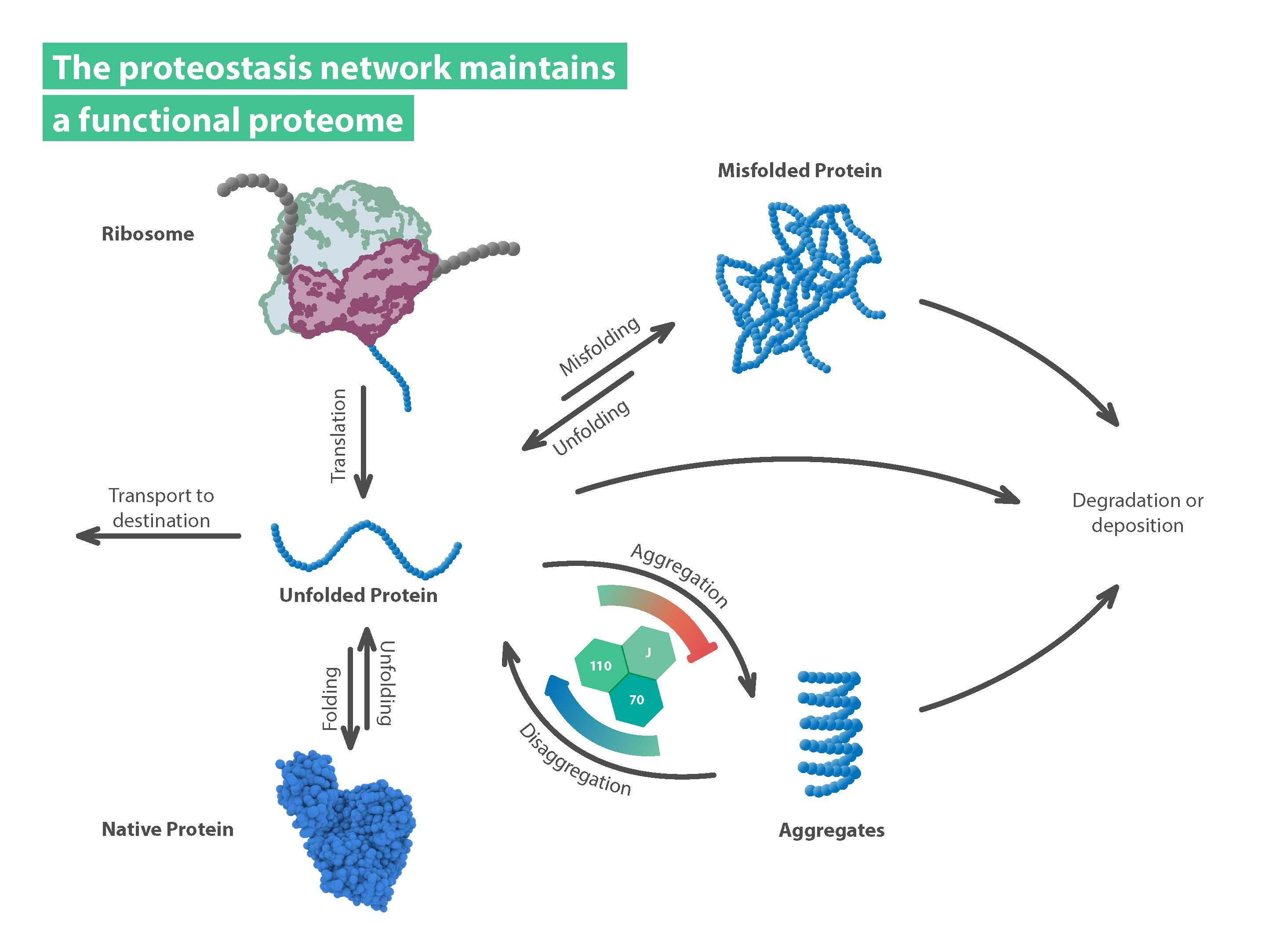 Figure showing a functional proteome in the proteostasis network.