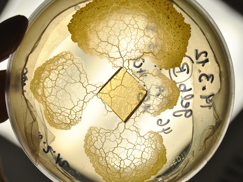 physarum petri dish