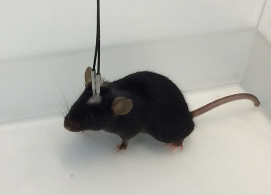 Bilateral implanted mouse